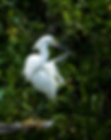 Picture of a preening snowy egret on a dead tree branch near Bishops Harbor, Florida as a fine art nature print for the wall of your home or office.