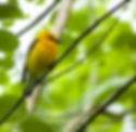 Picture of a prothonotary warbler in Tampa, Florida's Lettuce Lake Park as a fine art nature print for the wall of your home or office.