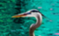 Digital representation of a great blue heron as a fine art nature print for the wall of your home or office.
