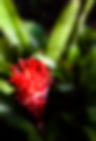 Picture of a close up of red bromeliad flower as a fine art nature print for the wall of your home or office.