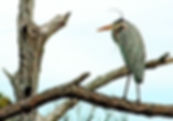 Picture of a great blue heron in a tree in Florida's Honeymoon Island State Park as a fine art nature print for the wall of your home or office.