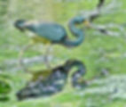 Picture of a tri-colored heron wading in Tampa, Florida's Lettuce Lake Park as a fine art nature print for the wall of your home or office.