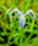Picture of a blue iris growing in the swamp in Tampa, Florida's John Sargent Park as a fine art nature print for the wall of your home or office.