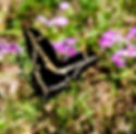 Picture of a giant swallowtail butterfly feeding on phlox in Hernando County, Florida as a fine art nature print for the wall of your home or office.
