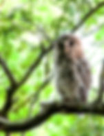 Piture of a newly fledged barred owl on a branc in Tampa, Florida's Lettuce Lake Park as a fine art nature print for the wall of you home or office.
