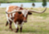 Picture of a longhorn steer in a Polk County, Florida pasture as a fine art print for the wall of your home or office.