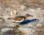 Picture of a spotted sandpiper with a small fish at the manatee viewing area in Tampa, Florida as a fine art nature print for the wall of your home or office.