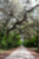 Picture of an oak bower over a road in Florida's Green Swamp Wildlife Management Area as a fine art print for the wall of your home or office.