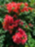 Red bougainvilla as a fine art print for the walls of your home or office.
