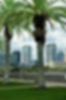 Picture of downtown Tampa, Florida seen through palm trees on Bayshore Boulevard as a fine art print for the wall of your home or office.