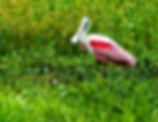 Picture of a  roseate spoonbill wading in a marshy area of Riverview, Florida as a fine art nature print for the walls of your home or office.