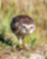 A burrowing owl with a centipede as a fine art nature print for the walls of your home or office.