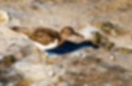 Picture of a spotted sandpiper with a small crab at the manatee viewing area in Tampa, Florida as a fine art nature print for the wall of your home or office.