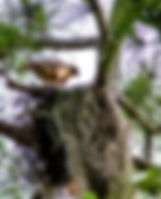 A red shouldered hawk on its nest as a fine art nature print for the walls of your home or office.