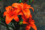 Picture of three reddish orange lilies as a fine art nature print for the wall of your home or office.