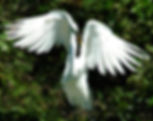 Picture of a great white egret posing at the rookery in Venice, Florida as a fine art nature print for the wall of your home or office.