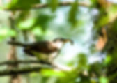 Picture of a yellow billed cuckoo eating a caterpillar at Tampa, Florida's Lettuce Lake Park as a fine art nature print for the wall of your home or office.
