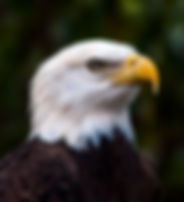 Picture of a bald eagle at the Audubon Raptor Center in Maitland, Florida as a fine art nature print for the wall of your home or office.