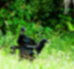 Picture of two new world black vultures waiting their turn at a carcass as a fine art print for the wall of your home or office.