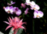 Picture of a pink bromeliad and lilac orchids on a black background as a fine art nature print for the wall of your home or office.