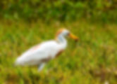 Picture of a cattle egret with a grasshopper that its caught as a fine art nature print for the wall of your home or office.