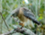 Picture of a red-shouldered hawk calling in Tampa, Florida's Lettuce Lake Park as a fine art nature print for the wall of your home or office.