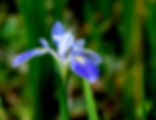 Picture of a blue iris growing wild in a swampy area of Manatee County, Florida near Duette as a fine art nature print for the wall of your home or office.