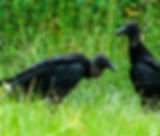 Picture of a pair of new world black vultures in rural Charlotte County, Florida as a fine art nature print for the wall of your home or office.