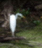A great white egret as a fine art nature print for the walls of your home or office.