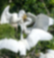 Picture of a great white egret feeding its chicks pan fish at a rookery near Kissimmee, Florida as a fine art nature print for the wall of your home or office.