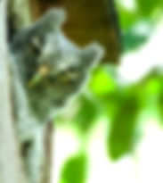 Picture of an eastern screech owl looking around its nest as a fine art nature print for the wall of your home or office.