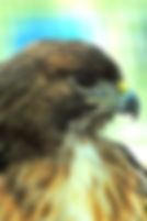 Picture of a red-tailed hawk at the Suncoast Seabird Sanctuary in Pinellas County, Florida as a fine art nature print for the wall of your home or office.