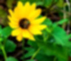 Picture of a male metallic green sweat bee on a sunflower as a fine art nature print for the wall of your home or office.