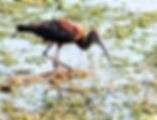 A glossy ibis as a fine art nature print for the walls of your home or offce.