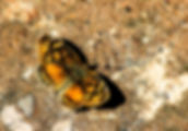 Picture of a carme crescent butterfly landing on a path in Argentina's Parque Nacional Iguazu as a fine art nature print for the wall of your home or office.