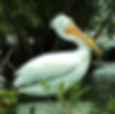 Pictures of pelicans as fine art nature prints for the wall of your home or office.