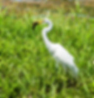 A great white egrety as a fine art nature print for the walls of your home or office.