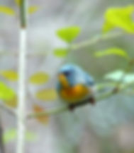 Picture of a northern perula on a branch in Tampa, Florida's Lettuce Lake Park as a fine art nature print for the wall of your home or office.