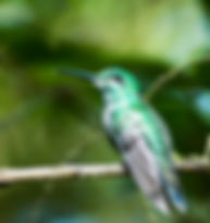Picture of a green-crowned brilliant hummingbird as a fine art nature print for the wall of your home or office.
