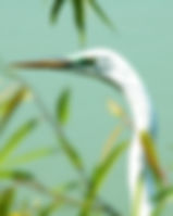 Picture of a great white egret with its greenish mating colors as a fine art nature print for the wall of your home or office.
