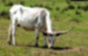 Picture of a Florida scrub cow in a Manatee County pasture near Duette as a fine art print for the wall of your home or office.