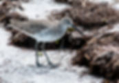 Picture of an eastern willet in winter grey plumage on Anna Maria Island, Florida as a fine art nature print for the wall of your home or office.