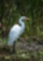 Picture of a great white egret on the shore of Frog Creek in Manatee County, Florida as a fine art nature print for the wall of your home or office.