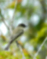 Picture of an eastern phoebe resting on a branch in Tampa, Florida's Lettuce Lake Park as a fine art picture for your home or officde.