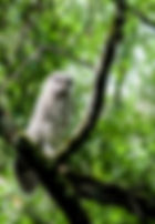 Picture of a barred owl fledgling stretches in Tampa, Florida's Lettuce Lake Park as a fine art nature print for the wall of your home or office.