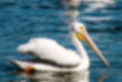 American white pelican as a fine art nature print for the walls of your home or office.