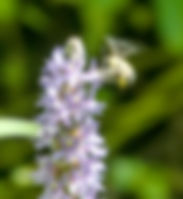 A bumble bee feeding on a pickerel weed flower as a fine art nature print for the walls of your home or office.