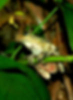 Picture of a tree frog climbing in philodendrun as a fine art nature print for the wall of your home or office.