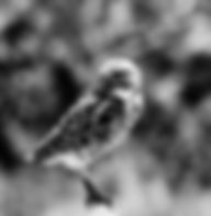 Black and white picture of a burrowing owl watching over its nest in Cape Coral, Florida as a fine art nature print for the wall of your home or office.