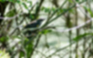 Picture of a yellow-rumped warbler in Tampa, Florida's Lettuce Lake Park as a fine art nature print for the wall of your home or office.